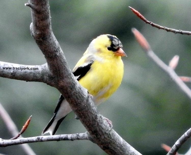 12. Mr Goldfinch, watermarked.jpg