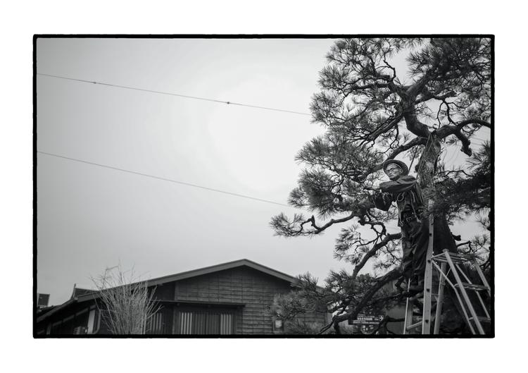 A man prune pine Takayama, Japa - emallume | ello