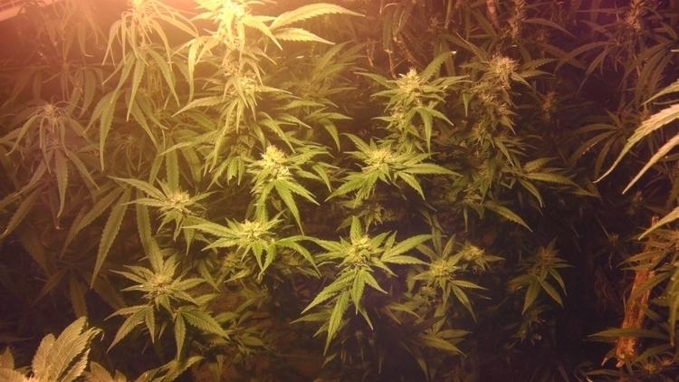 WeedGang Marijuana NUGZ Buds Bu - oh10dave | ello