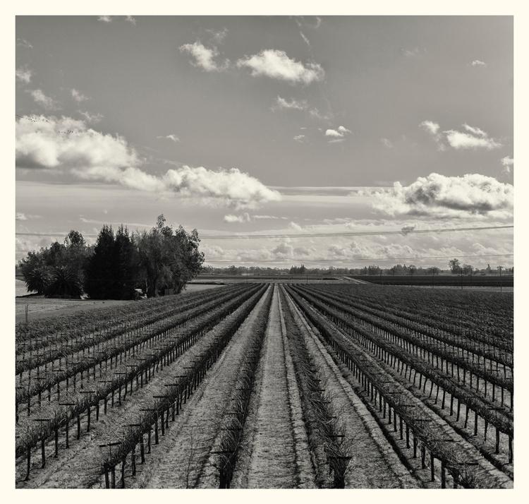 Vineyards, CA. - guillermoalvarez | ello