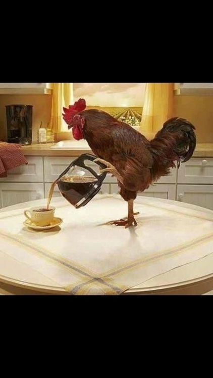 Rooster wakes 4AM ~ & serve - espressoknits | ello