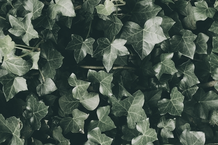 photography nature leaves ivy - dtlecky | ello
