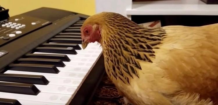 Patriotic hen plays America Bea - bonniegrrl | ello