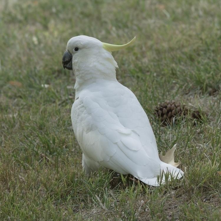 Sulphur-crested Cockatoo - Caca - momentsforzen | ello