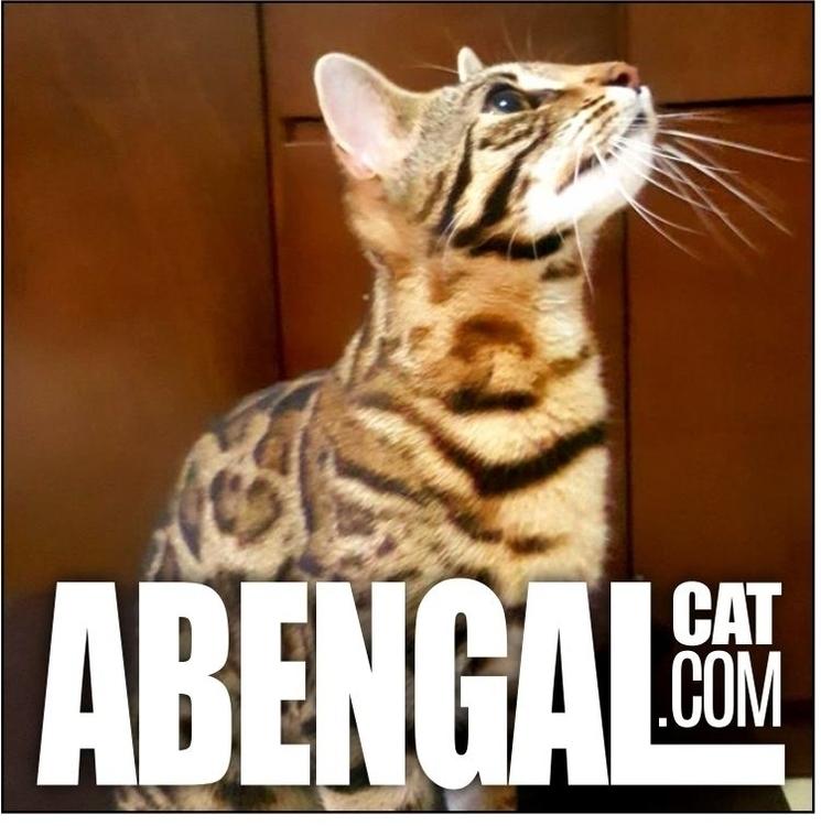 Conoce nuestro criadero de gato - abengalcatcom | ello