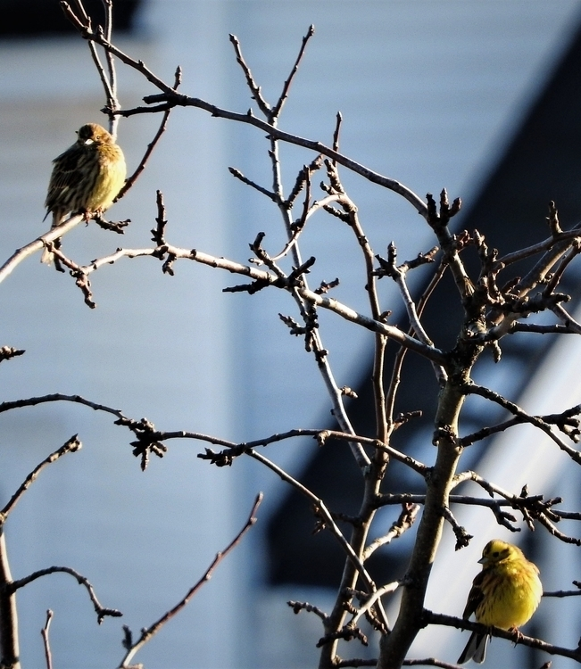 Yellowhammer couple Holmestrand - bsvalastog | ello