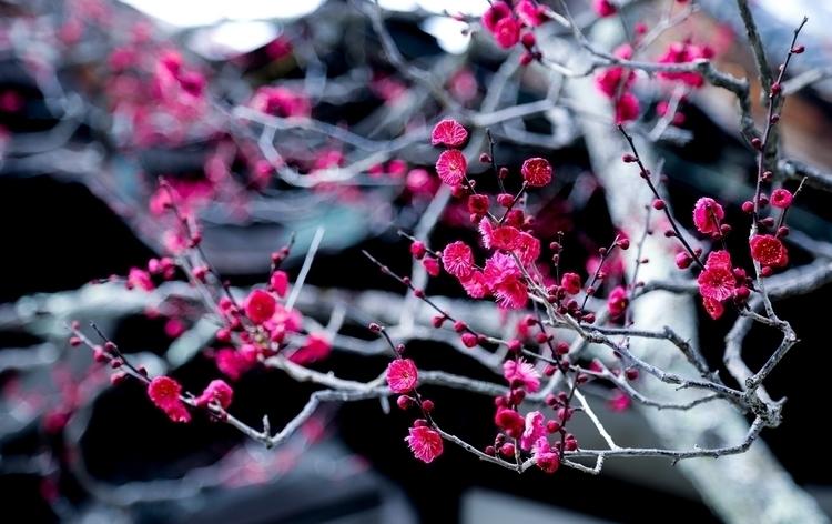 Red plum - miki_abe | ello