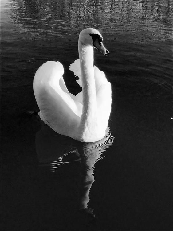 River Thames, Reading - swan, monochrome - edwildlife | ello