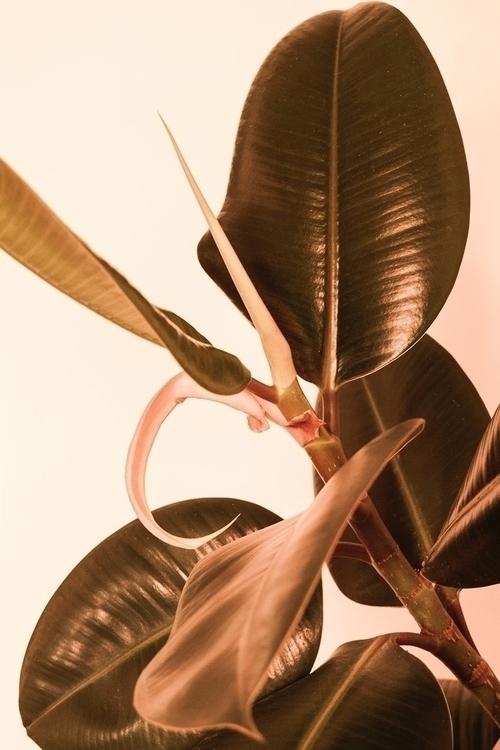 Casa Dante Ficus elastica // 20 - nitaboni   ello