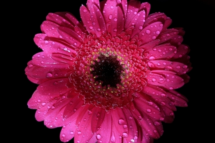 soft gentle - pink, flower, raindrops - jpetrovic   ello