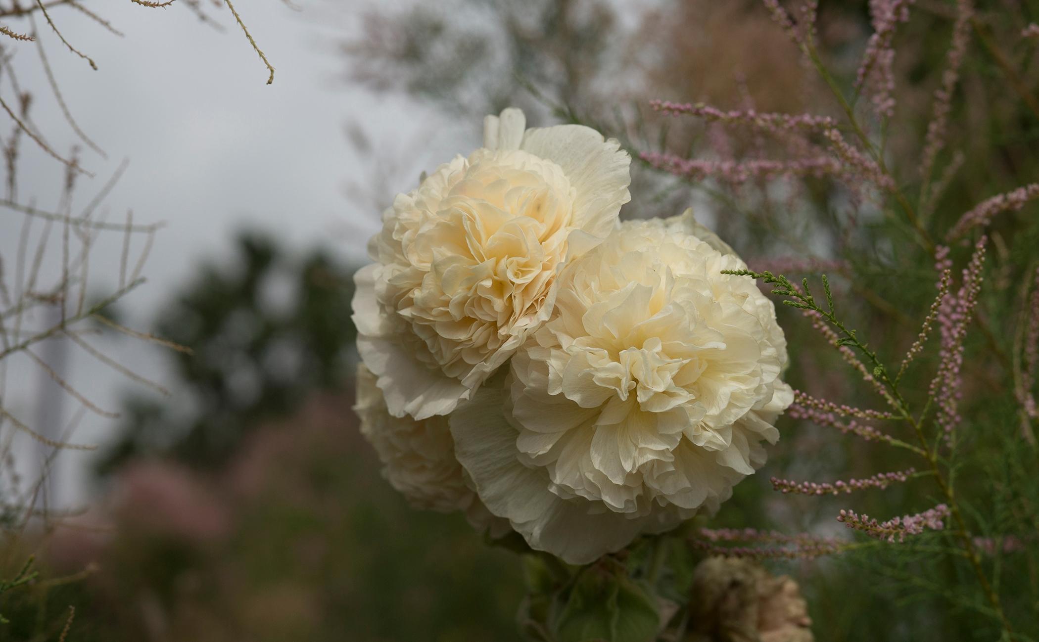 Des roses trémières, encore tou - gclavet | ello