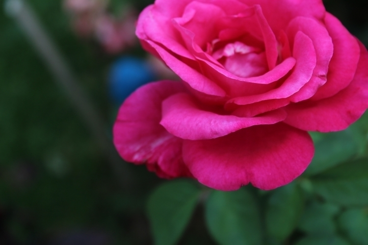 nature, flower, rose - fenascimentowoul | ello