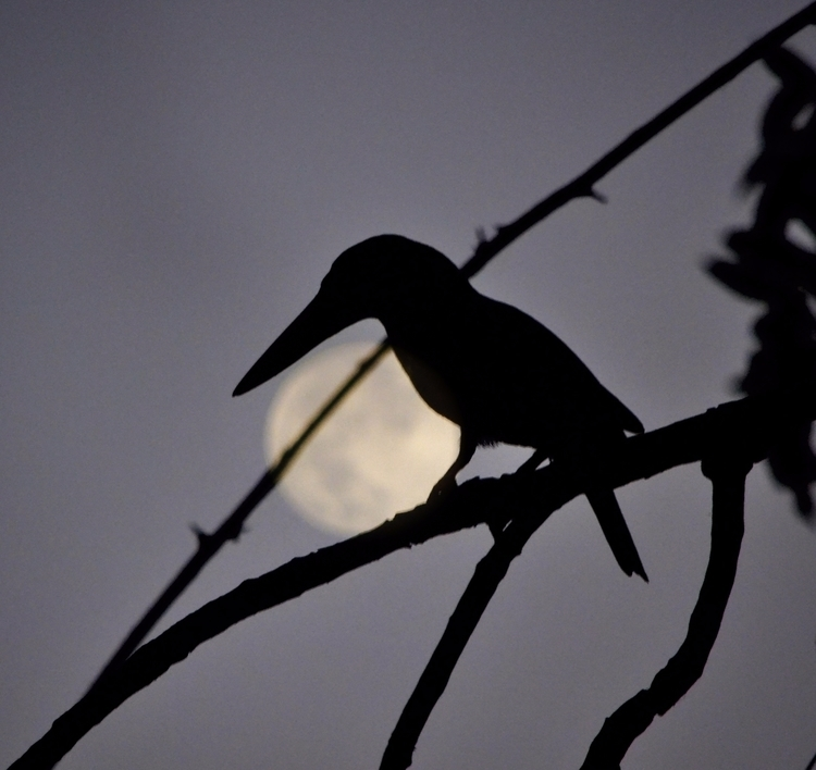 Sneaky Photobomber - moon, kingfisher - anupartha   ello