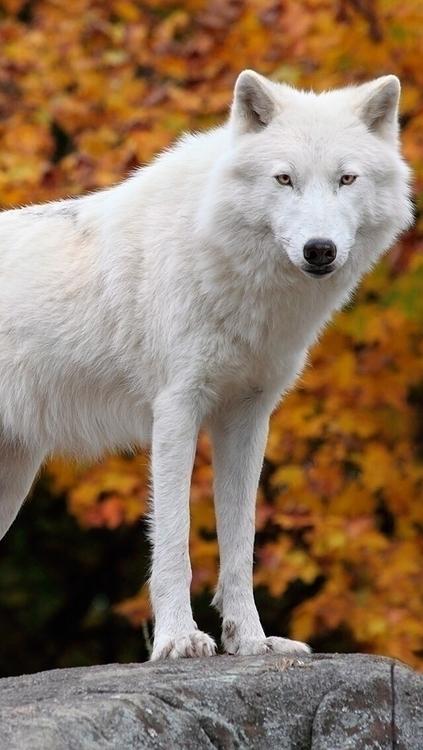Wolfy - infinite134 | ello