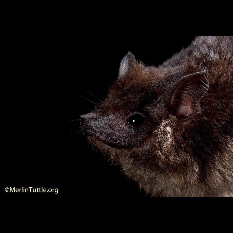 Greater Sac-Winged Bat handsome - tuttledvd | ello