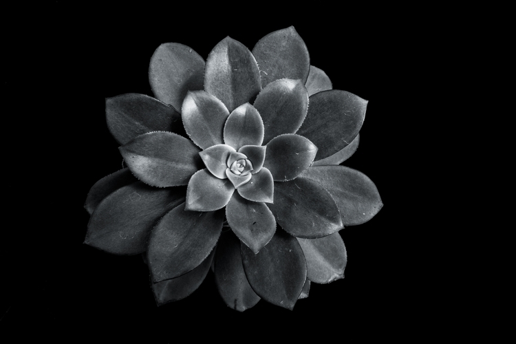 Succulent Series - 2, blackandwhite, - chrishuddleston | ello