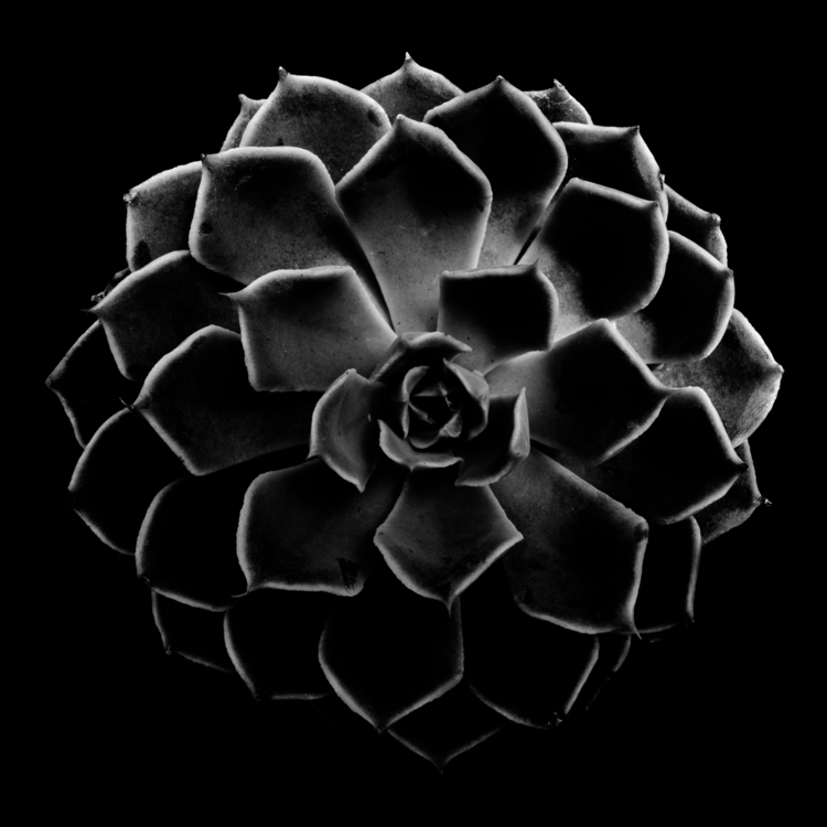 Succulent Series - Echeveria - 3 - chrishuddleston | ello