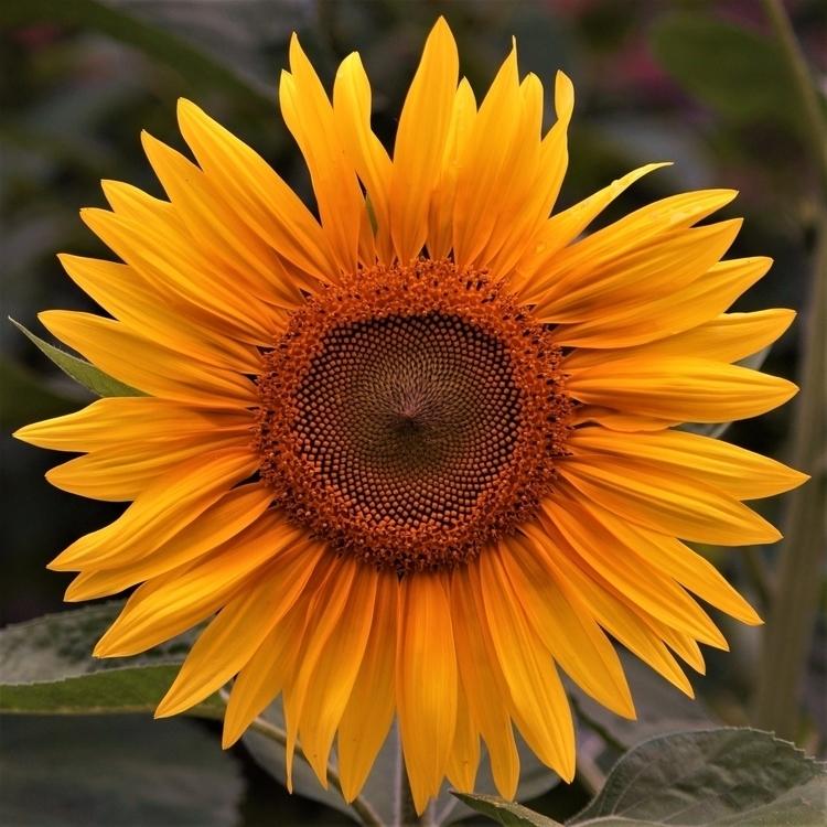Sunflower (2016 - paweladamski | ello