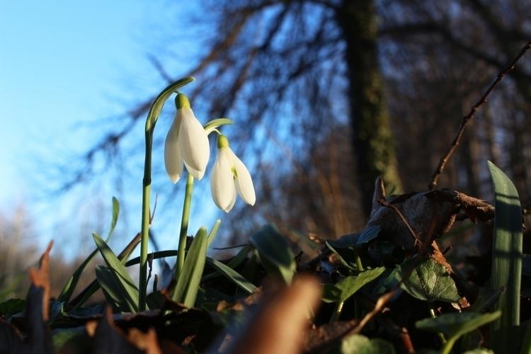 Spring finally - snowdrop, snowdrops - jpetrovic   ello