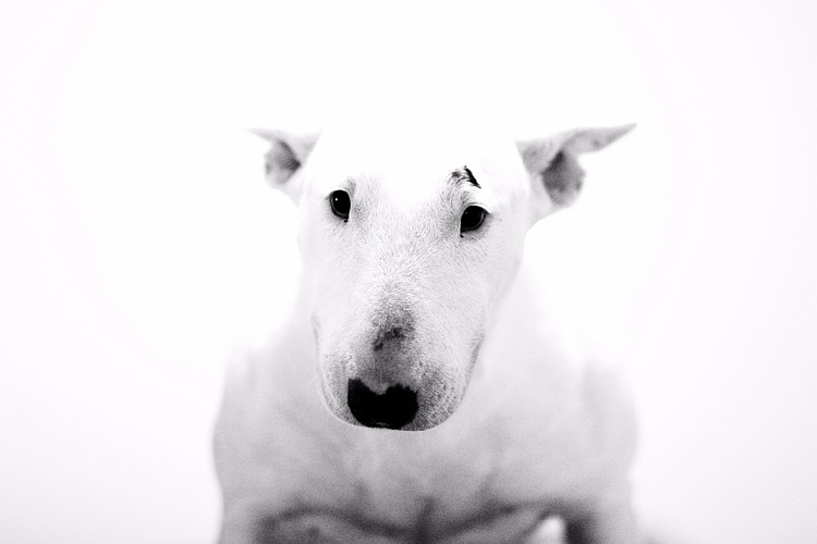 Portrait bullterrier dog - highkey - cornelgin | ello
