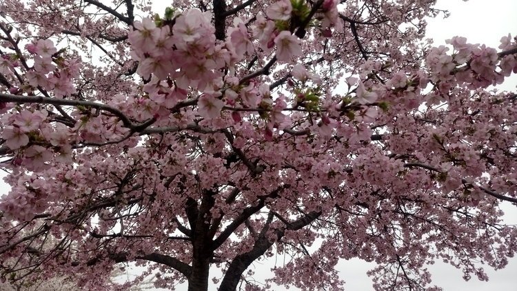 Cherry blossom - cherryblossom, gorgeous - dobromyslova | ello