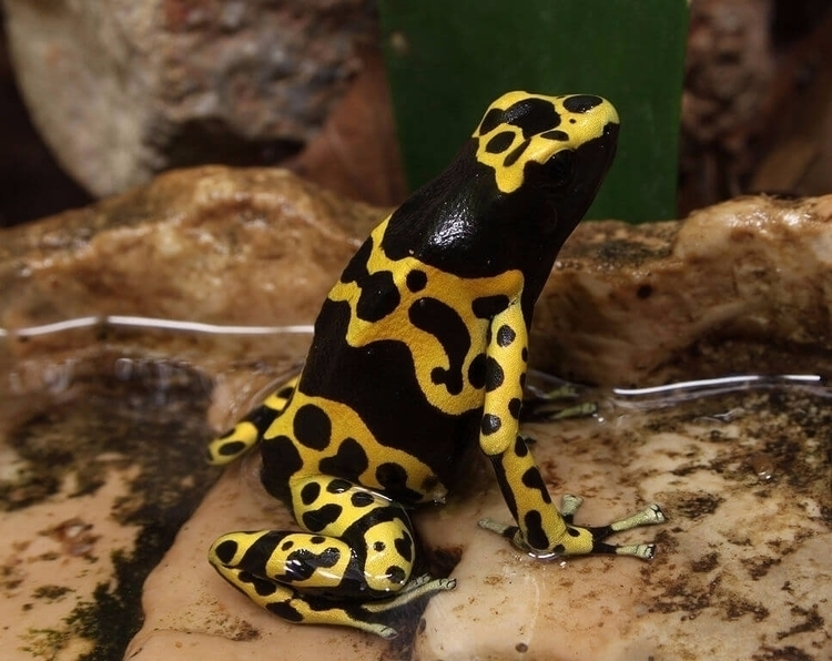 Bumblebee Poison Frog Dendrobat - guyfrog16 | ello