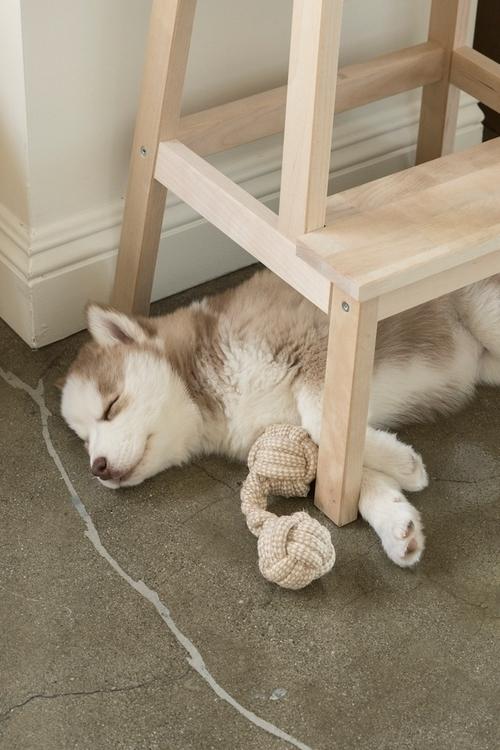 weekend baby Nuki - husky, siberianhusky - tlvbirdie | ello