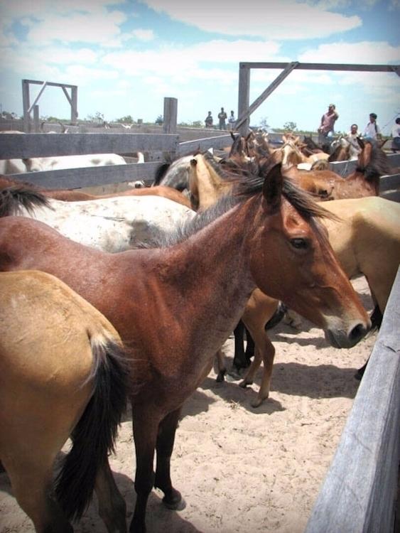 Lethem Guyana Rodeo Horses Nich - guyfrog16 | ello