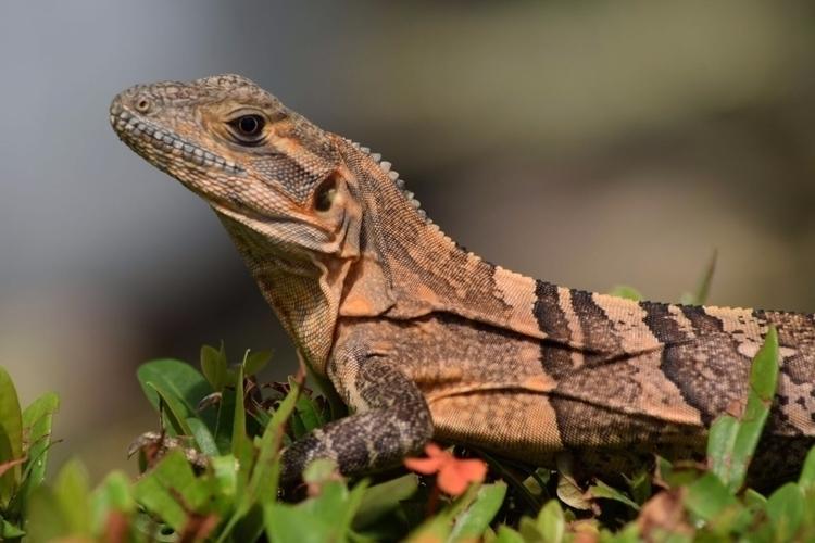 Nature, Iguana, Beautiful - cazu22 | ello