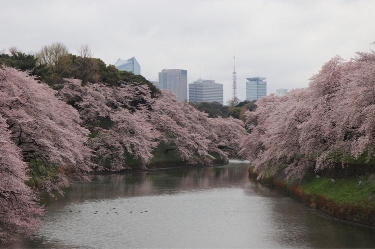 Cherry blossoms Tokyo - tokyo, japan - waygaijin   ello