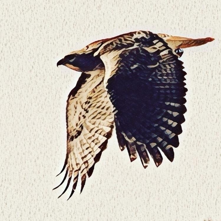Hawkish. Photos Stephen Mease - prisma - smeasevt | ello