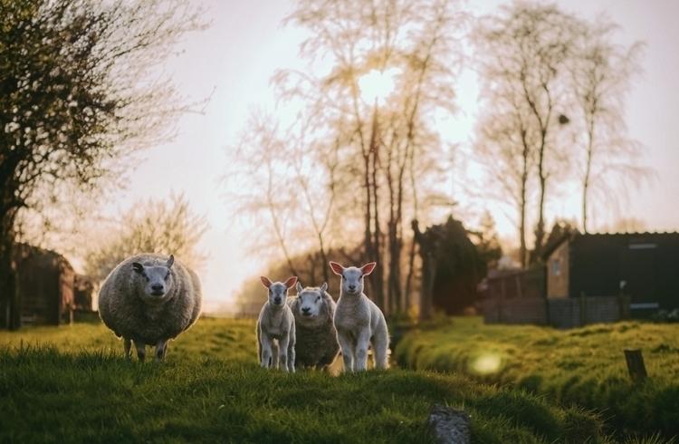Family portrait, 2017 - color, sheep - klaasphoto | ello
