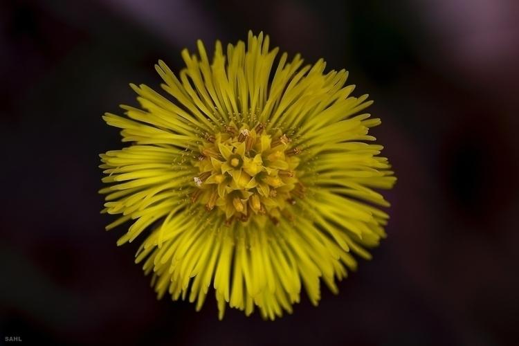 2 2016 - Yellow, flower, april, Denmark - jan_sahl | ello