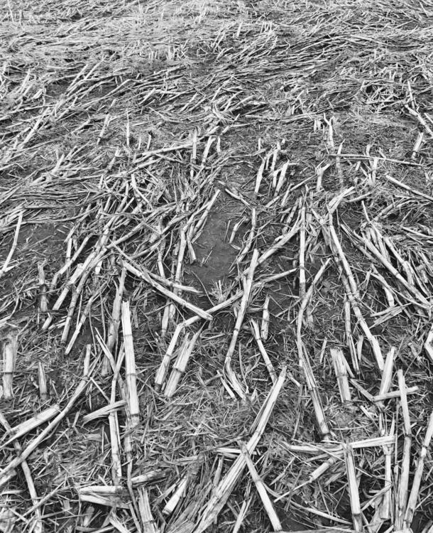 Corn BW - philip_higgins | ello