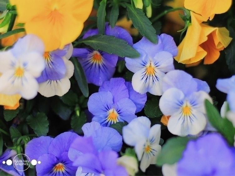 Pansy - pansies, flowers, spring - kaylaivey | ello