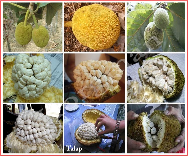 Talap الإسم النباتي:Artocarpus  - korgman | ello