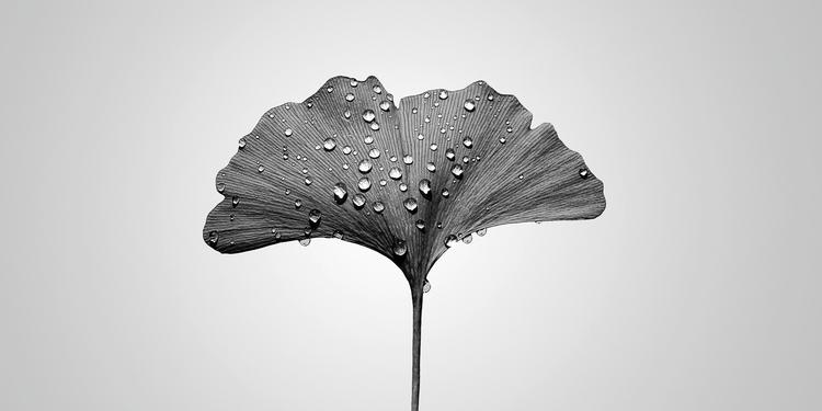 raindrops ginkgo leaf. japan fl - salz | ello