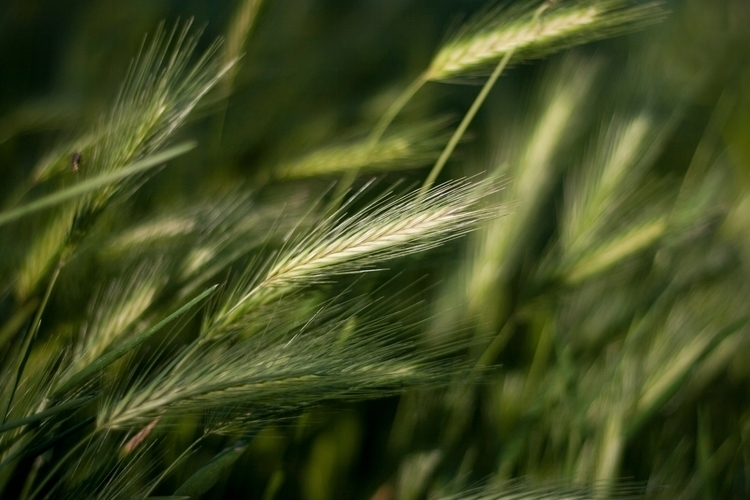 Pure Grain - spring, Printemps, Frühling - metal1 | ello