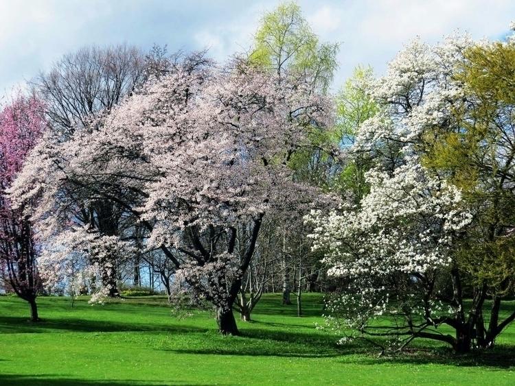 Flowering cherries flowering Bo - thesupercargo | ello