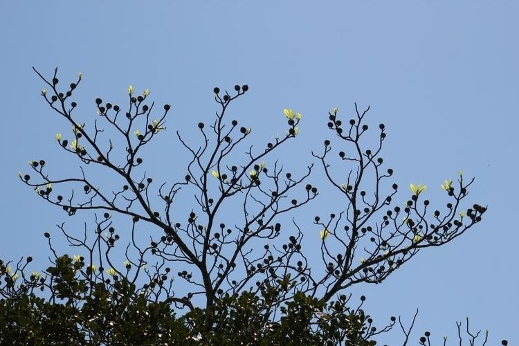 Genipa americana tree - genipa - massanori | ello