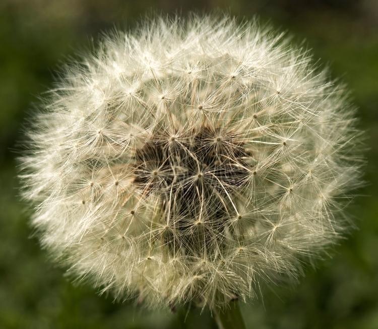 Dandelion - dandelion waiting w - neilhoward | ello