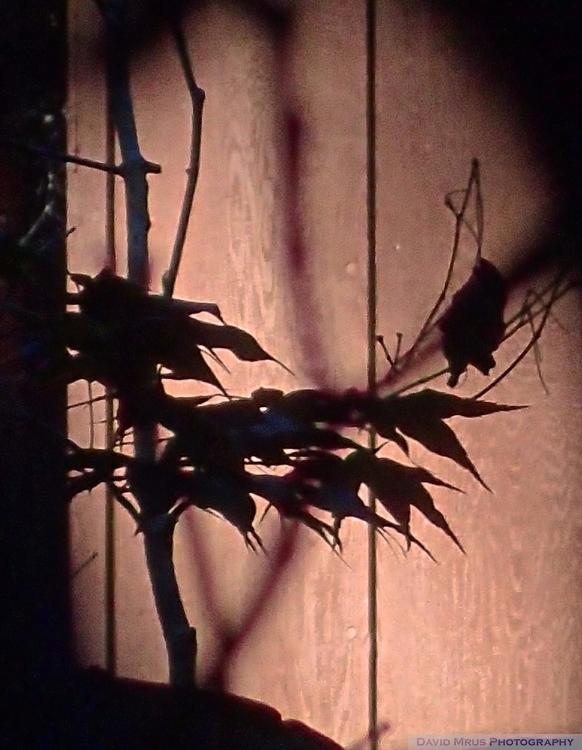 Maples, Palmatum Wisteria - davemrus | ello