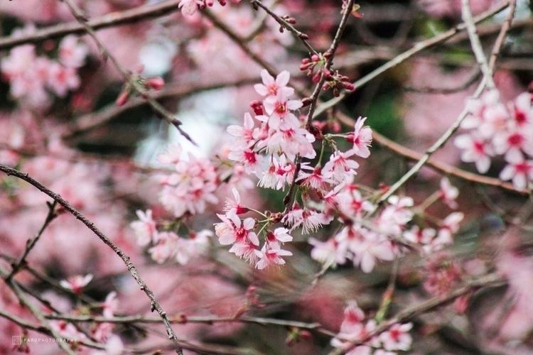 Wild Himalayan cherry blossom.  - paronguyen | ello