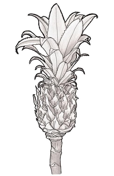 Ananas - pineapple, ananas, tropical - tiki-1251 | ello