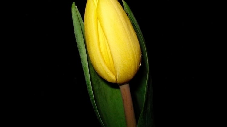 Yellow Tulip II - photography - heatherb-1015 | ello