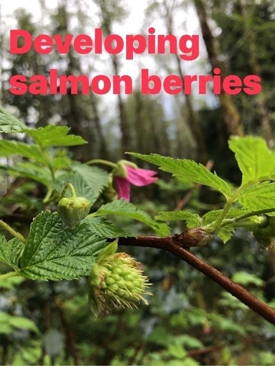 Noon Wuu Backyard fruit - salmonberry - iquitoz | ello