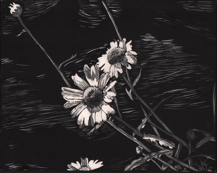 Daisies - illustration, scratchboard - jtiedemann | ello