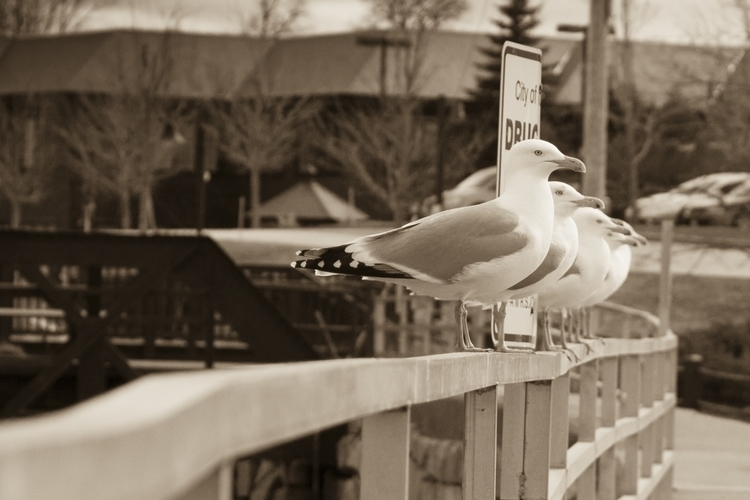 Sepia Tone Seagulls - photography - mnisbett | ello