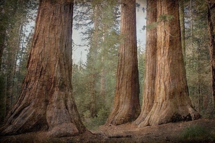 Enchanted Mariposa Grove - photography - lookinforlight | ello