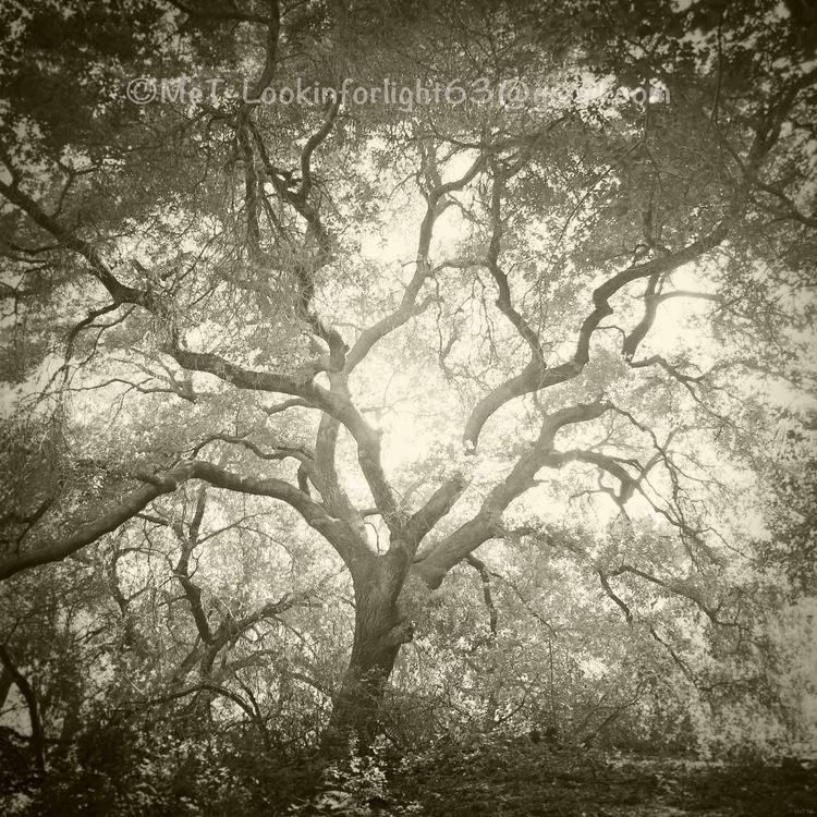 Live Oak Light - photography, treephoto - lookinforlight | ello